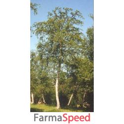 msa betula pubescens 50 ml