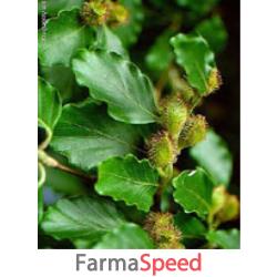 msa fagus sylvatica 50 ml